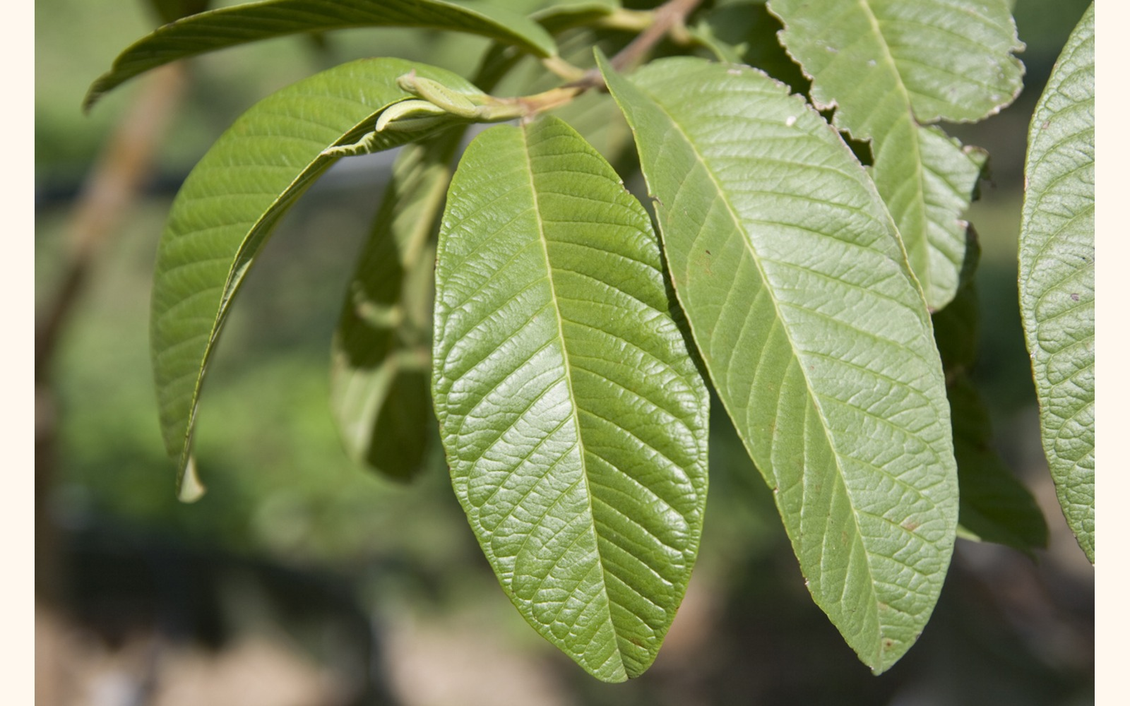 local studies guava leaves Guava leaf tea: benefits & side add a handful of freshly picked guava leaves, if many studies have shown that guava has a remarkable ability to regulate the.